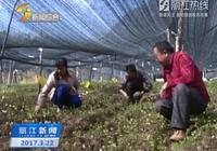 華坪縣育種種植羊肚菌喜獲豐收