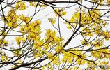 樹林深處,一樹黃花