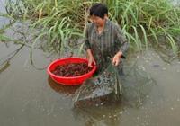 如何能最大捕出池子裡的小龍蝦成蝦,用藥物捕蝦會對蝦苗有影響嗎?