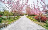 浪漫晚櫻因你而美,南京銀杏湖主題樂園2公里櫻花隧道繁花迎客