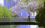 石家莊開得最美的山桃花,原來就在身邊!