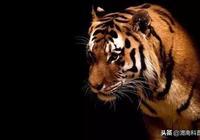 一隻飢餓的老虎(深度好文)