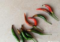 辣椒得了炭疽病和軟腐病怎麼辦?有什麼好的防治辦法?