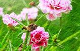 美麗且生命力旺盛的馬齒莧花