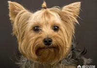 世上的哪種狗的忠誠度最低?為什麼?