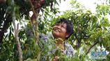 廣西欽州市那麗鎮殿艮村三華李進入收穫季,吸引遊客前來採摘