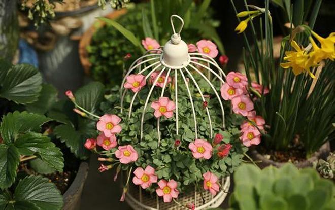 這些可愛的花,擁有共同的名字,酢漿草,陽臺族必選!