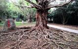 榕樹生南國,獨木也成林