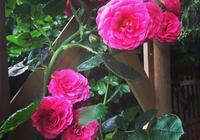 花型大花期久的藤本月季不開花怎麼辦?分享養護及爬藤方法
