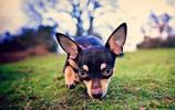 動物圖集:迷你杜賓犬