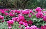 洛陽牡丹,花開四月,國色天香