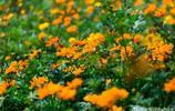 烈日炎炎的福州啊!花海公園百日草全面開放迎客咯