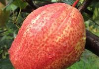 院子別種蔬菜了,此果樹一株產180斤,快點種下,明年成村裡首富