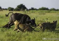 獅子和野牛