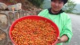 湖北宜昌:農家美女在鄉村公路邊賣櫻桃 15元一斤