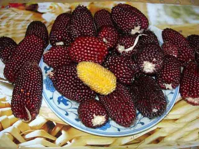 10塊錢一斤的玉米,小夥一口氣種了100畝,有草莓味還有菠蘿味的