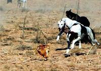 格力犬怎麼訓練抓兔子?訓練抓兔子的五大要點介紹!