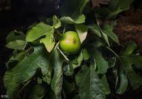 無花果種植:無花果能否在室內進行種植?