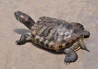 五十多歲大叔養殖草龜,竟年收入40萬