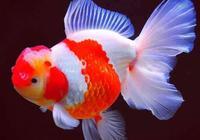 金魚的飼養口訣,記住這些就足矣養好金魚了!