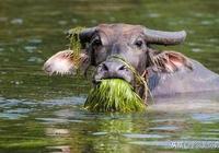 俗話說:老牛吃嫩草,其實下半句才是精華所在,你知道嗎?