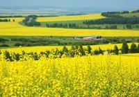 農墾萬畝油菜花,讓人震撼的草原種植業!