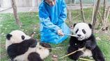 周迅姐姐帶你一起喂大熊貓,比比熊貓和周迅誰更可愛