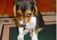 從狗狗的這5種表現就可以看出,它很討厭你!你家狗狗會這樣嗎?