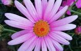 豔麗奪目的木春菊