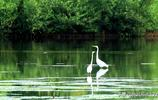 詩詞中的白鷺 ——張玉鳳老師攝影作品賞析