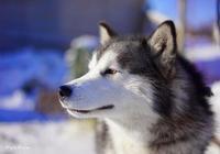 一隻哈士奇自述:我大名叫西伯利亞雪橇犬!