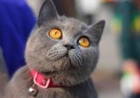 寵物小百科貓咪篇:英國短毛貓