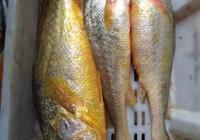 漁民捕獲5斤多重野生大黃魚