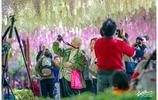 網紅打卡地,上海最美紫藤公園現在進入盛花期,花開如瀑遊人如織