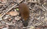 鼠:麝袋鼠,一種有袋動物,生活在澳大利亞東北部的熱帶雨林中