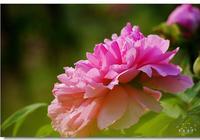 西安牡丹苑的牡丹花開了