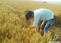 農民收割小麥的時候發現了蛇,一般是放生?還是殺死?為什麼呢?