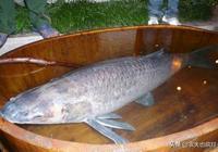 青魚能吃螺螄全靠青魚石,什麼是青魚石?多大的青魚才有青魚石?