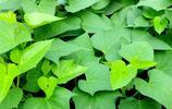 最平價的長壽菜——番薯葉