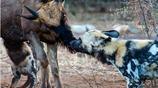 野狗變溫情,吻上羚羊,最後才知這是披著羊皮的狗