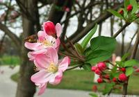 春風裡的飽蕾嬌紅——西府海棠淡淡香