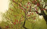 圖蟲風光攝影:垂柳 紅梅