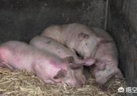得了豬丹毒,豬肺疫的豬,還能打疫苗嗎?怎麼防治?