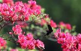 花中西施—繁花似錦的杜鵑