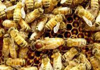 蜜蜂能高產,蜂王是關鍵,一個群體一隻蜂王,看蜂王養殖手冊