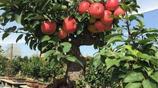 家裡有空地馬上種上這8種果樹,長得快易存活,果子隨摘隨吃