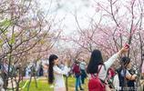 中國姑娘去日本看櫻花,回來後,卻說:太失望了