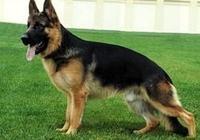 德國牧羊犬訓練的基本原則