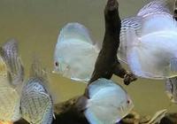 這些都是難以飼養的觀賞魚品種,把它們輕鬆養活的魚友會有多少?