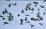 野保人士撒了糜子、穀子,阿爾山公路邊野鳥鋪天蓋地